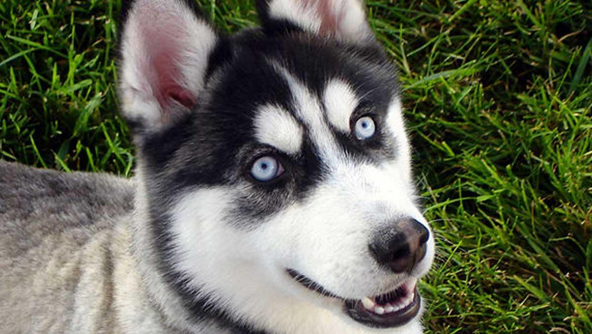 Siberian Husky True Winter Dog City Dogs